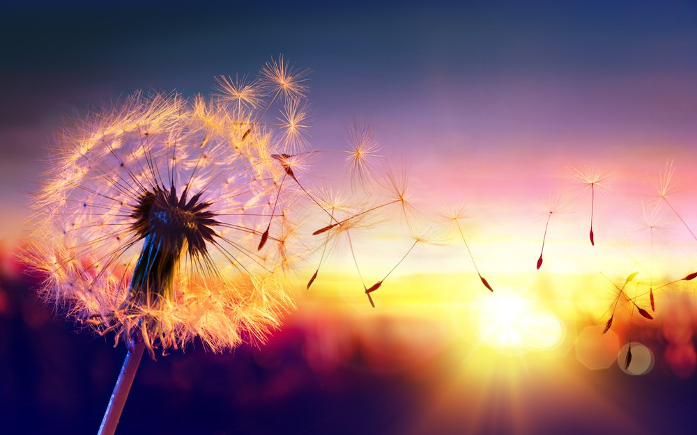 dandelion seeds blowing at sunset