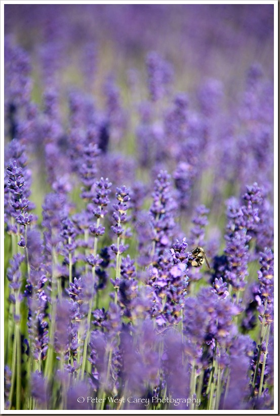 Lavender And Bee, Nectar!!