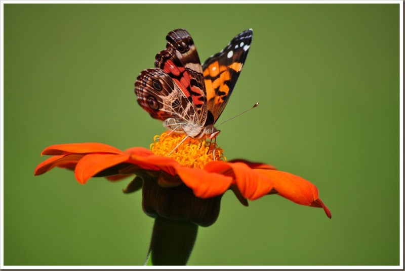 PAINTED-LADY-BUTTERFLY-ON-MEXICAN-SUNFLOWER