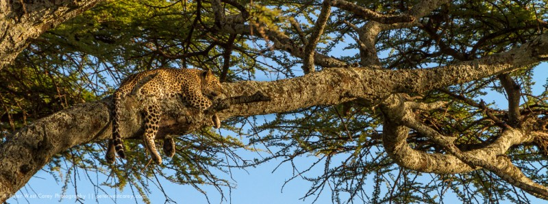 Gazing leopard (Panthera pardus), Tanzania