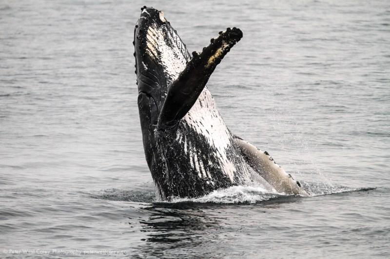 Breaching Humpback Whale - Alaska