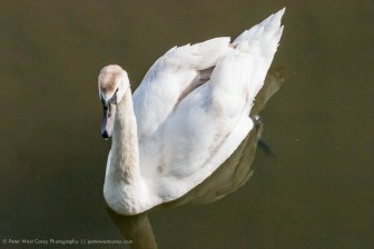 Swan At Kinsale, Ireland
