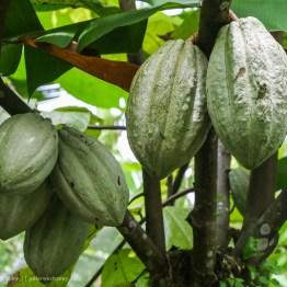 Cocoa, It's where chocolate comes from. Costa Rica