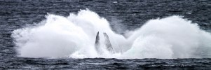 A Humpback Whale Makes A Splash, Alaska, USA