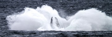 A Humpback Whale Makes A Splash, Alaska, USA
