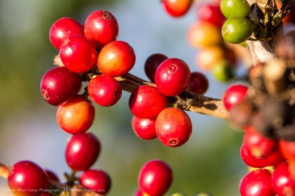 Ripe Coffee Cherries, Hawai'i, the Big Island, Hawaii, USA