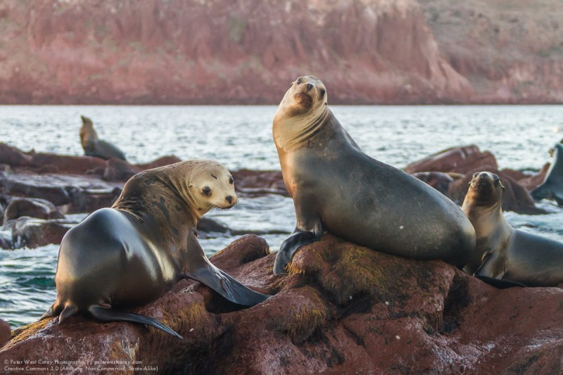 Curious California Sea Lions, Isla Los Islotes, Baja California