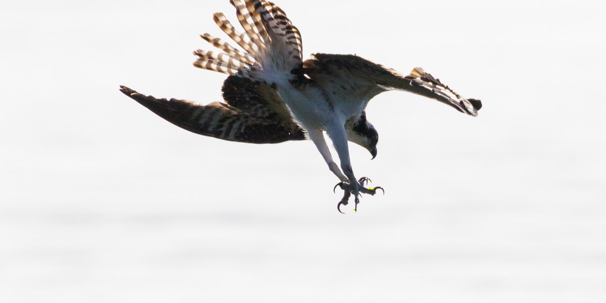 Photo Of The Day – Osprey Fishing Puget Sound