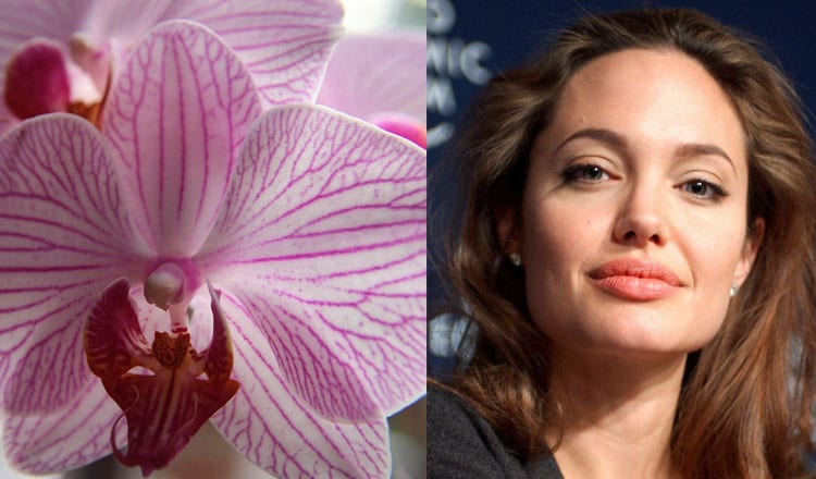 orchids angelina jolie