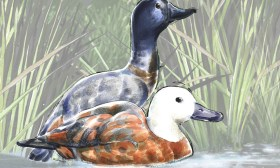 Nature art- Paradise Shelduck