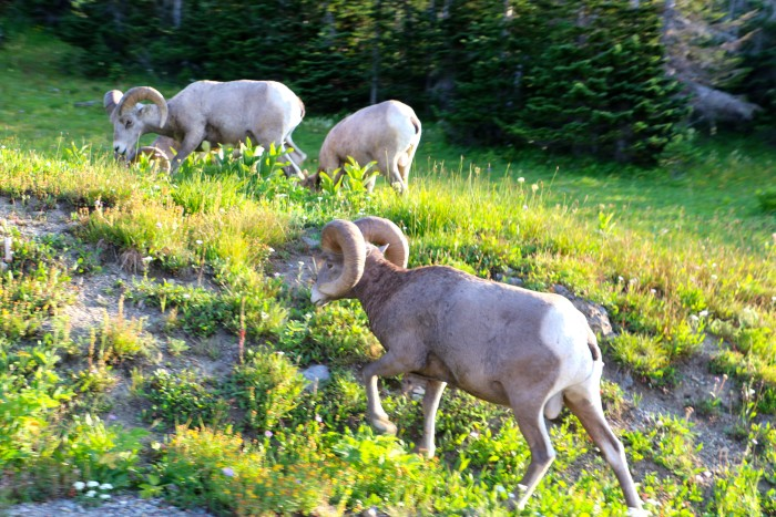 Mountain Goats in Glacier National Park 2