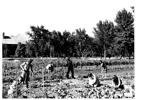 Students farm the Armstrong Quad Victory Garden during World War II. Photo courtesy of Colorado College Archives