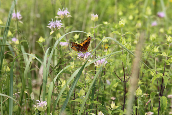 A butterfly gathers nectar on bee balm on a natural area of the property of the Dominican sisters of Adrian, Michigan. The congregation has part of its land in permaculture, allowing plants, animals and insects to co-exist in a natural ecosystem. (CNS photo/Dennis Sadowski)