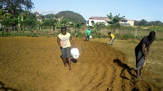 Parents whose children receive aid through the donations to the Holy Spirit School's education fund work on the church's farm and help with harvesting.