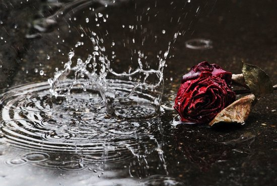 Large raindrops fall to the ground in front of a withered red rose