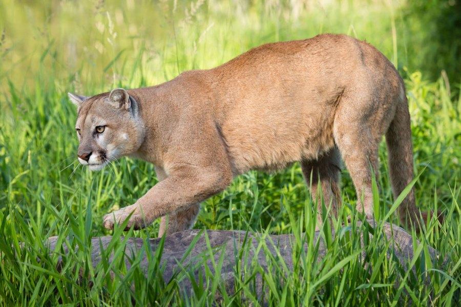 Seekor singa gunung yang besar dan kuat mengintai mangsanya