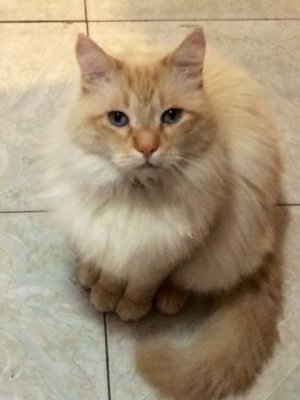 Flame Point Maine Coon : flame, point, maine, Cream, Flame, Point-, Breed?, TheCatSite