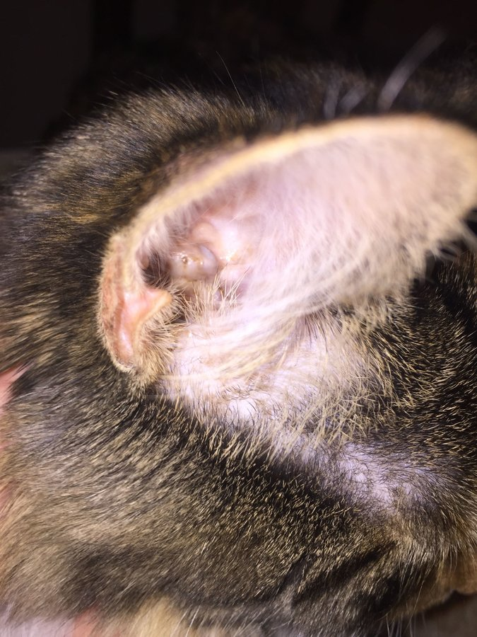 Earwax In Cats - toxoplasmosis