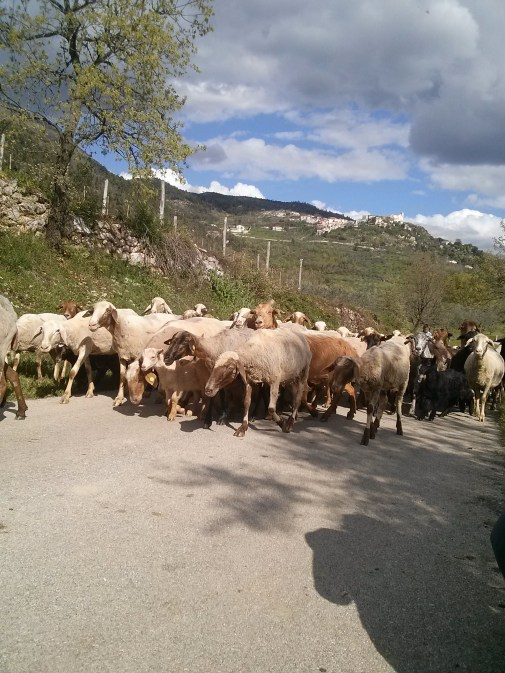 The daily passing goat herd on our Italian farming mountain