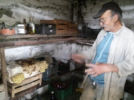 Giusseppe's mushrooms in the olive oil and wine cellar