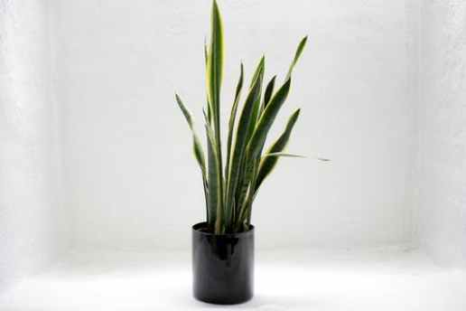 8 Winter Plants To Grow Indoors - Snake Plant