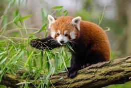 Red Panda eating bamboo