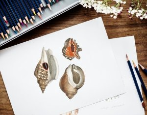 artists drawings of shells besides color pencils