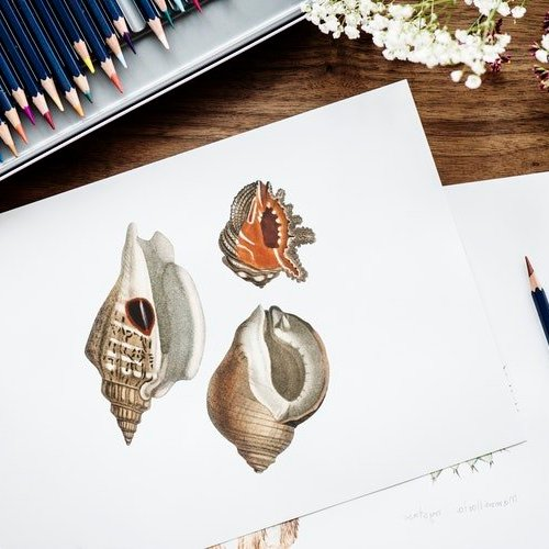 artists drawings of shells