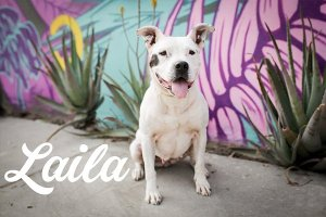 pit bull rescue dog Laila, for writing coaching for artists donation section of page
