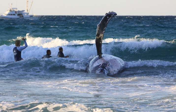 Failed whale tow attempt whale rolls in the surf