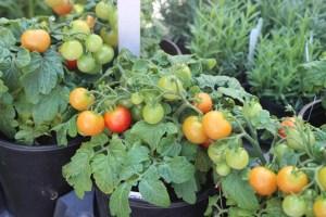 Sweet 'N Neat Tomatoes