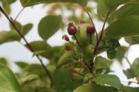 IMG_3697 Flowering Crab Apple Tree