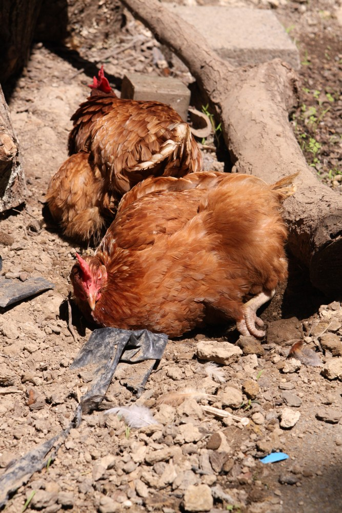 The Cost Effectiveness of Chicken Keeping