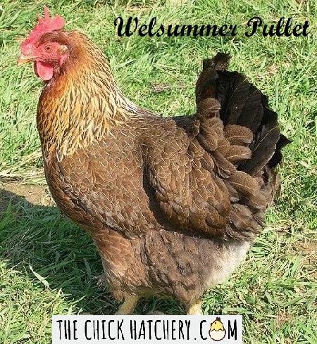 Welsummer The Chick Hatchery