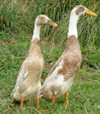 Fawn and White Runner Duck