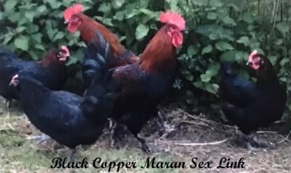 Black Copper Marans