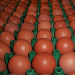 Dark Brown Egg Layers