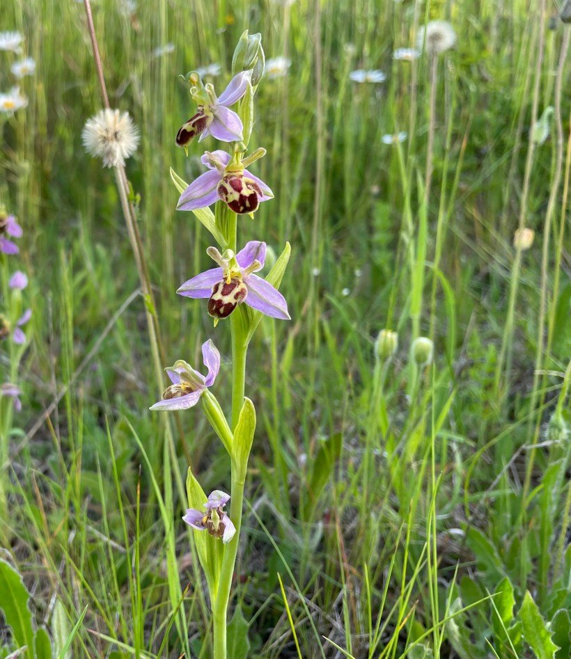 Bee orchid in the disused quarry