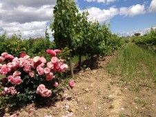Torres Winery : roses are planted at intervals as a health indicator. Roses are quite sensitive to pests and diseases