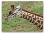 Cincinnati Zoological Park_ Giraffe