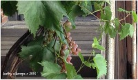 Winery Grapes in August