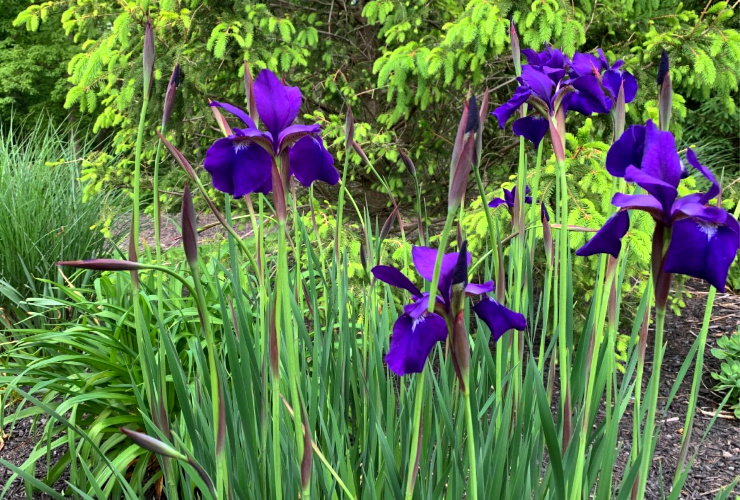 Photo of irises taken by koops
