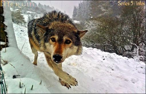 Un vrai loup... magique, sur le tournage de la saison 5 ! ^^
