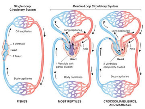 Chordata - Circulatory System