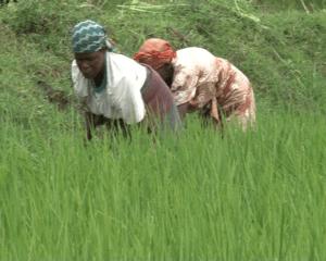 Women working in the rice wetland in Southern Province of Rwanda. Photo by Seraphine Habimana
