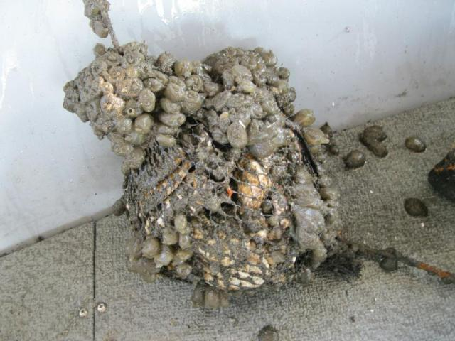 We put out bags filled with oyster shell at LaGuardia airport to see if they would attract any oyster spat, which are settling oyster larvae. The only thing that it attracted was a bunch of tunicates, also called sea grapes (for their similarity in appearance but not taste to grapes) and sea squirts (for their ability to squirt water up to 2 feet).