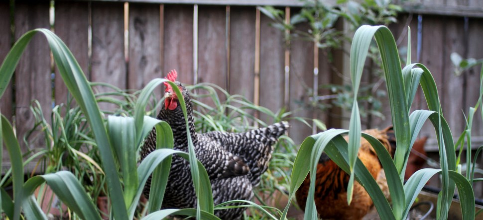 Chickens in the yard at the Kalmus residence in Altadena, CA.