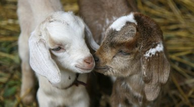 AWWWWW II (http://gifts.rescue.org/files/product_2babygoats.jpg)