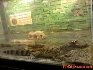 Young Crocodile at Zoobic Safari's Serpentarium