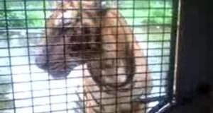 A Tiger at Zoobic Safari's Savannah